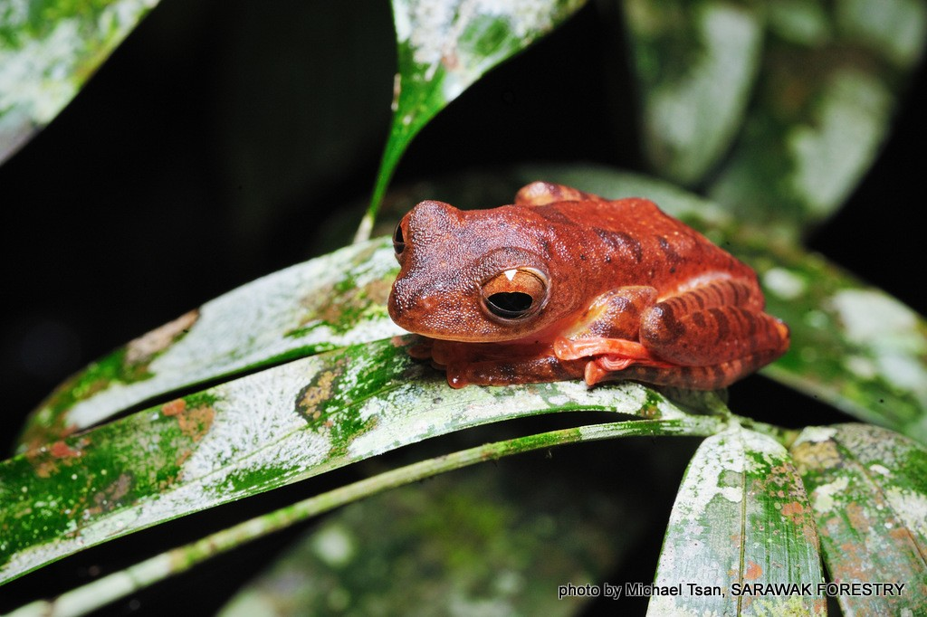 Image show small Bornean tree frog. Photo Credit: Michael Tsan and Sarawak Forestry